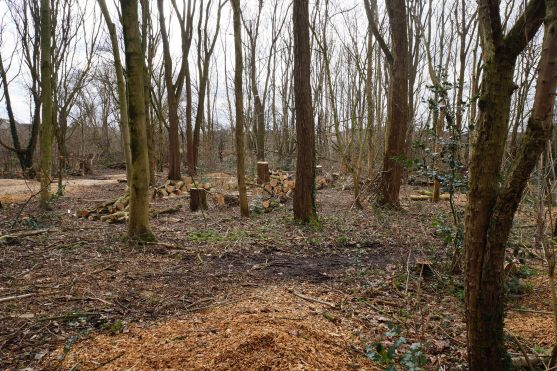 DURING - non-native trees such as Norway Maple and Sycamore are felled to create a zone of regenerating Willow and understory trees